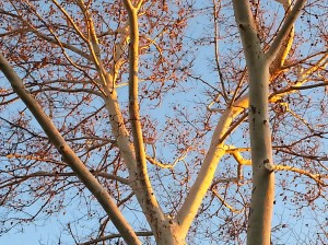 Dendronglow on Twin Sycamore Trees. Setting November Sun.