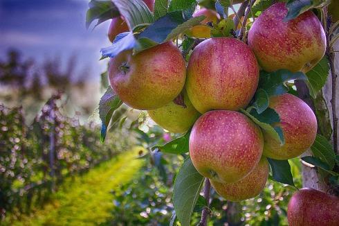 apples-490475_1920